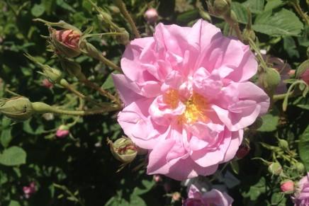 O the Rose