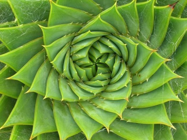 fibonaccispiralaloe