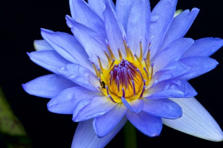 The flower of intuition & connection ~ blue lotus